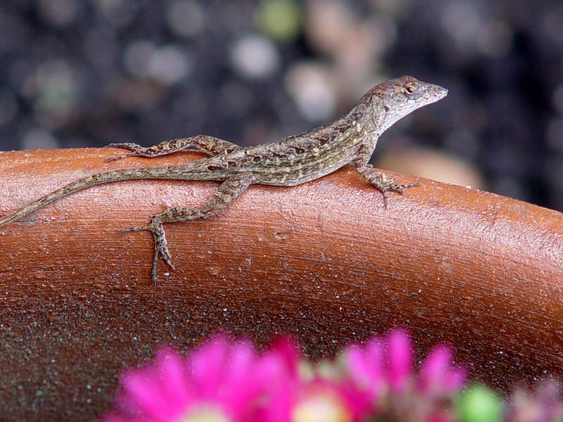 """<b>Brown Anole</b> <i>(Anolis sagrei)</i>  (September 4, 2005)  The Brown Anole is an exotic species of small lizard that was introduced and became established in south Florida sometime in the 1940s, though it probably survived in the Florida Keys long before then.  Like several other introduced Caribbean anoles, it was able to flourish in the sub-tropical climate and habitat of the Florida peninsula, but unlike the other invaders, the Brown Anole is the only species that has steadily increased its range into other southeastern states.   The Brown Anoles first introduced to south Florida actually came from two different islands. The Cuban Brown Anole <i>(Anolis sagrei sagrei)</i> was considered a separate subspecies from the Bahaman brown anole <i>(Anolis sagrei ordinatus)</i>. When the two subspecies came together in Florida, they began to interbreed. Today, the Brown Anoles of the United States belong to neither subspecies, but have characteristics of both. Because of this secondary contact between the two subspecies they are referred to as only <i>Anolis sagrei</i> with no subspecies epithet.  Most people call anoles """"chameleons"""" due to the green anole's ability to change color; however, anoles are only distantly related to the chameleon, and in fact, are more closely related to the iguana. They are small lizards adapted for climbing trees, shrubs, fences, and walls. They are frequently seen basking in the sun or hunting insects around Florida homes. Male anoles have a large throat fan which is often displayed, along with """"push-ups"""" and head-bobbing behaviors when they court or defend territories.  The maximum length of the brown anole is up to 9 inches. They are gray, black, brown to very dark brown and sometimes speckled coloration which may vary in hue. The males turn almost black during territorial displays; females have diamond-shaped patterns down back; mature males will also have a crest-like ridge along their back.  Its introduction in the USA has altered"""