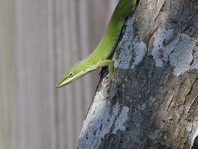 Green Anole (Anolis carolinensis)  (October 28, 2005)