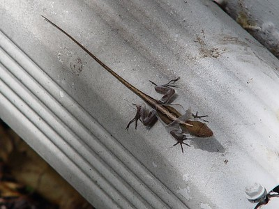 Brown Anole (Anolis sagrei)  (September 5, 2005)  Females have diamond-shaped patterns down their back. Both Green and Brown Anoles shed skin but not in a single piece like snakes; instead it flakes off similar to the way people peel after a sunburn.
