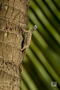 Common Gliding Lizard, Singapore