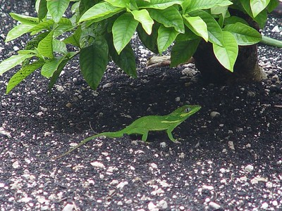 Knight Anole (Anolis equestris)  (September 20, 2005)