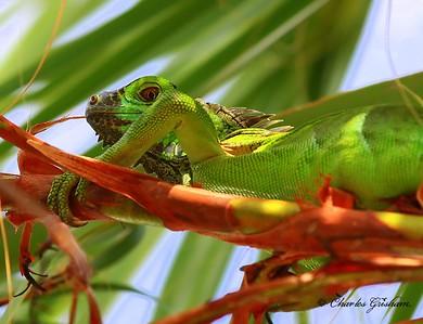 Iguana in a Palm Tree on Grand Cayman.