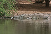 What trip to Africa would be complete without a photo of a Nile Crocodile. This one was lying on the side of sunset dam near lower sabie.