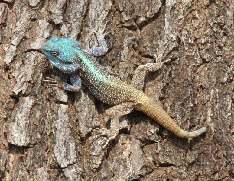 This lizard ( Male Blue-headed tree Agama) was found on a tree in the lower sabie camp.