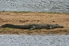 This rather long croc ws on a snadbar in the lower sabi river. Not the place to go swimming.