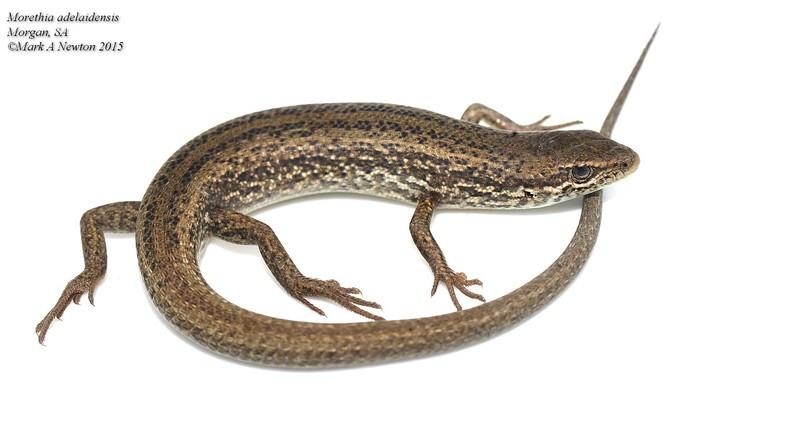 Morethia adelaidensis