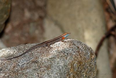 Blue-throated Rainbow-Skink