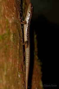 Bar-sided Forest-skink
