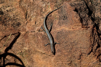 Inland Snake-eyed Skink