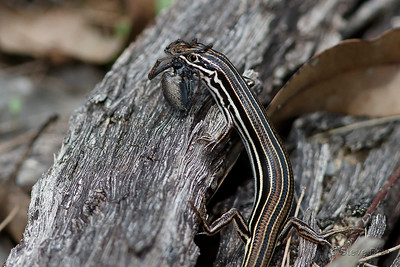Copper-tailed Skink - with Dinner