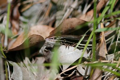 Copper-tailed Ctenotus