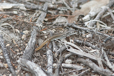 Copper-tailed Skink