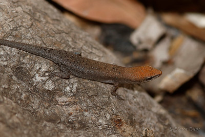 Two-spined Rainbow-Skink