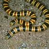 Biodiversity Group, C. occipitalis 2