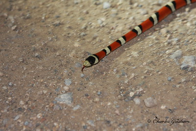 This King Snake was crossing Foothills Road about 7 or 8 miles from Portal Lodge, towards Paradise.  I found out after I photographed it that it was not a Coral Snake ...red touches yellow, kill a fellow, red touches Jack, friend of Jack.