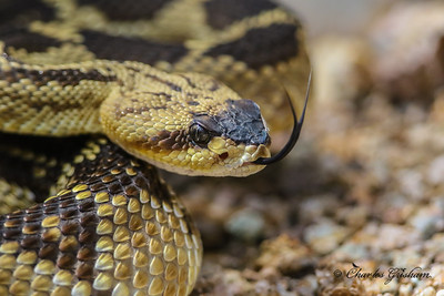 Black-tailed Rattlesnake