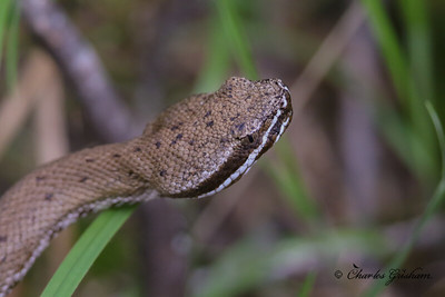 Arizona Ridge-nosed Rattlesnake