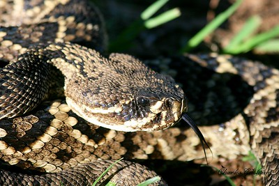 Rattlesnake on Berry Mountain in north Alabama.  Canon 400d xti Canon 70-300 lens