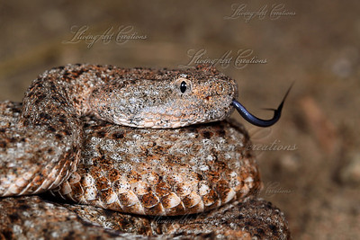 Crotalus mitchelli pyrrhus (Southwestern Speckled Rattlesnake)