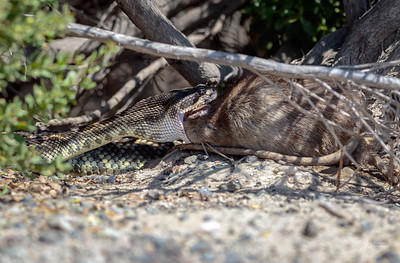 Rattlesnake with Rat