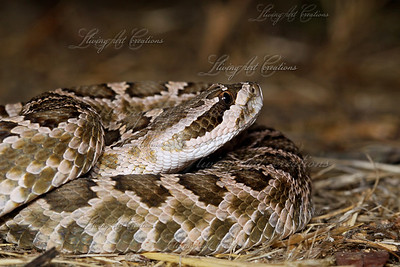Crotalus helleri (Southern Pacific Rattlesnake)