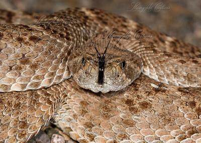 Crotalus atrox (Western Diamondback Rattlesnake)