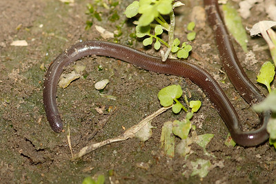 Brown-Snouted Blind Snake