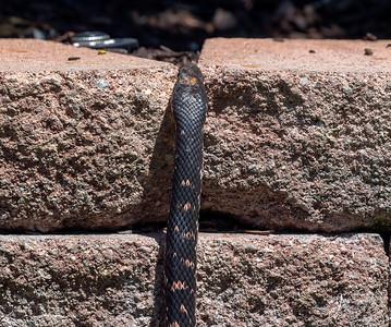 Red Racer Snake