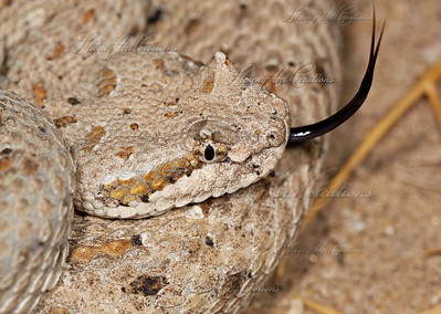 Crotalus cerastes laterorepens (Sidewinder)