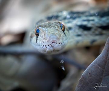 Pacific Gohper Snake