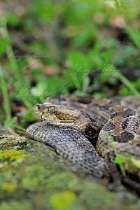 Crotalus horridus (Timber Rattlesnake) in situ.  Photo taken in Iowa