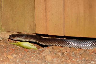 Slaty-grey Snake