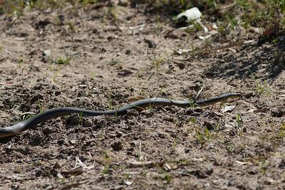 Eastern Brown Snake?