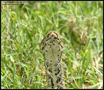 Rock Python, Serengeti National Park, Tanzania, November 2019