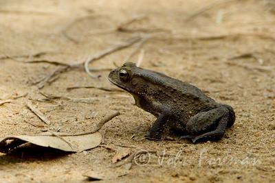 Asian Toad, Pulau Ubin