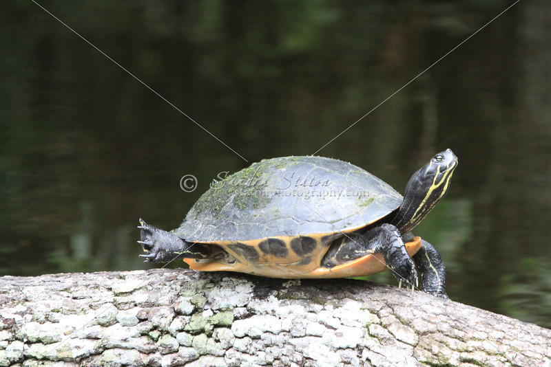 Florida Cooter Turtle
