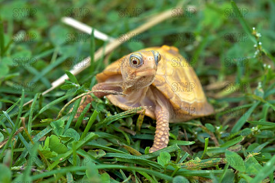 Albino Eastern Box Turtle (Terrapene carolina carolina)