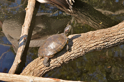 Red-eared Turtle (Trachemys scripta elegans) sunning itself on a log at the Jacksonville Zoo and Gardens.