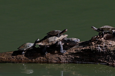Saw-shelled Turtles