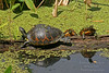 3 turtles on log