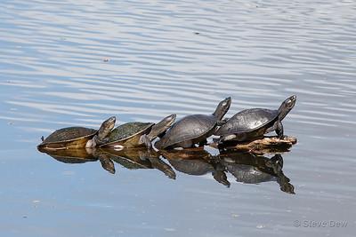 Macquarie River Turtles