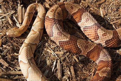 Southern & Northern Copperhead