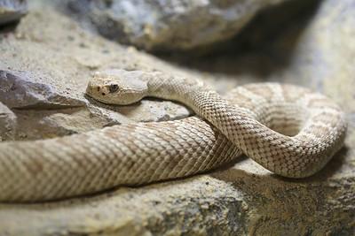 Santa Catalina Rattlesnake