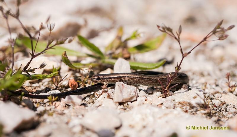 Ablepharus kibaibelii - Johannusskink - European Copper Skink or European Snake-eyed Skink