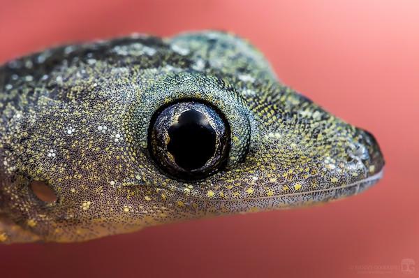 Tiny gecko