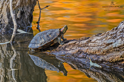 Red-eared Slider (Trachemys scripta elegans) and reflected autumn colour, Toronto, Ontario