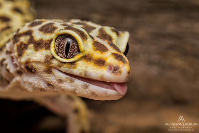 Leopard Gecko (Eublepharis macularius) - captive