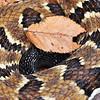 Rattlesnake Spiral