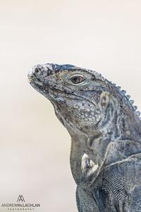 Sister Island Rock Iguana (Cyclura nubila caymanensis)