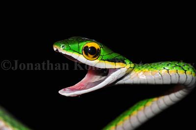 Parrot Snake (Leptophis mexicanus)